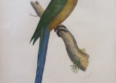 "Shaw, George (1751-1813) - ""Palaeornis Barrabandi, Pl. 17"", Cengeral Zoology, Stell Engraving, 1811, $230"