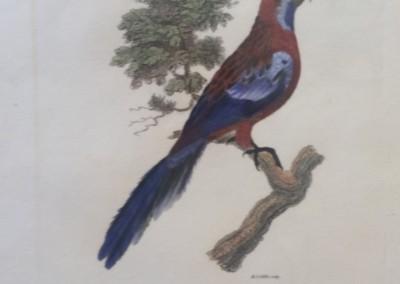 "Shaw, George (1751-1813) - ""Pennantian Parrakeet, Pl. 56"", General Zoology, Steel Engraving, 1811, $230"