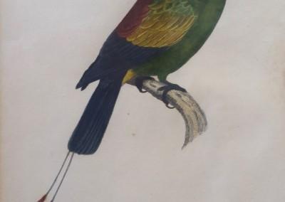 "Shaw, George (1751-1813) - ""Platycorcus Setarius, Pl. 16"", Engraving, 1811, $250"