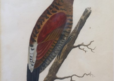 """Shaw, George (1751-1813) - """"Red Winged Woodpecker, Pl. 35"""", General Zoology, Steel Engraving, 1811, $230"""