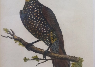 """Shaw, George (1751-1813) - """"Yellow-Headed Woodpecker, Pl. 35"""", General Zoology, Steel Engraving, 1811, $230"""