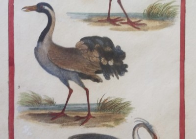 "Shaw, George (1751-1813) - ""Waterbirds, Pl. 47"", Engraving, 1825, $80"