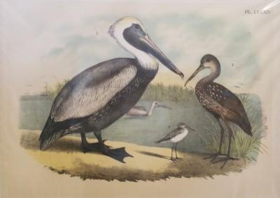 "Studer, Jacob H. - ""Brown Pelican, Pl. 84"", Chromolithograph, 1888, $90"
