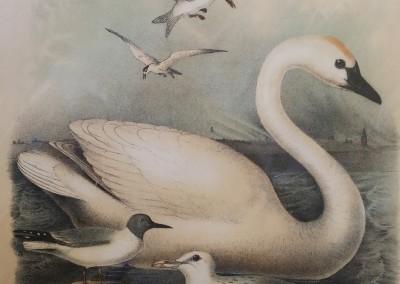 "Studer, Jacob H. - ""Trumperter Swan, Pl. 54"", Chromolithograph, 1888, $80"