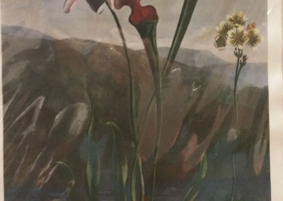 Thornton American Bog Plants Early 1900's Reproduction Hand Colored BO 0666 OM $260
