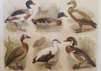 """Unknown - """"Waterfowl I"""", Chromolithograph, Ca 1894, $70"""