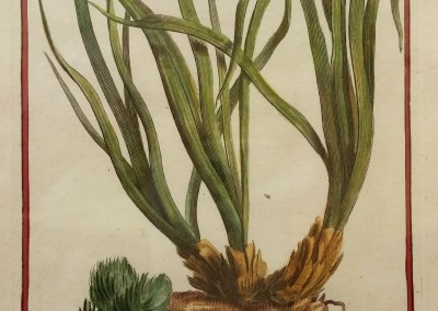 "Unknown - ""Alga"", Engraving, Ca 1700, $130"