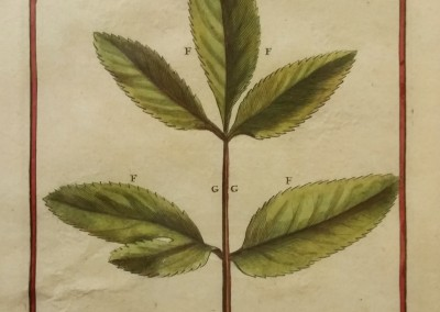 "Unknown - ""Ammi Leaf, Tab. 159"", Engraving, Ca 1700, $120"
