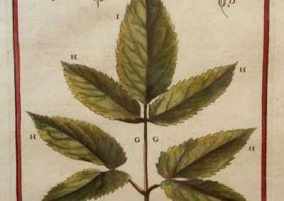 "Unknown - ""Angelica Leaf, Tab. 167"", Engraving, Ca 1700, $120"