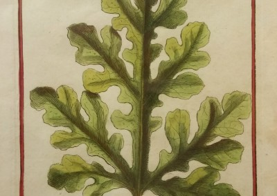 "Unknown - ""Anguria Leaf, Tab. 25"", Engraving, Ca 1700, $130"