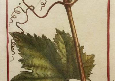"Unknown - ""Grape Leaf, Tab. 466"", Engraving, Ca 1700, $120"