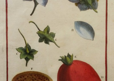 "Unknown - ""Guaiava"", Engraving, Ca 1700, $160"