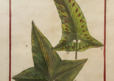 "Unknown - ""Hemionitis"", Engraving, Ca 1700, $130"