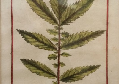 "Unknown - ""Long Stem Leaf, Tab. 459"", Ca 1700, Engraving, $120"