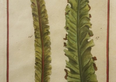 "Unknown - ""Two Leaves, Tab. 451"", Engraving, Ca 1700, $120"